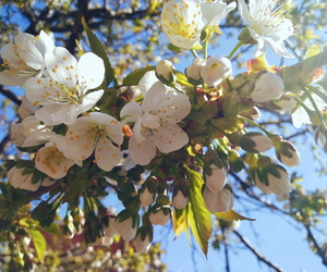 april, blossom, and cherry image