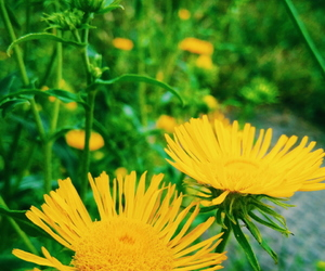 dandelions, nature, and flowers image