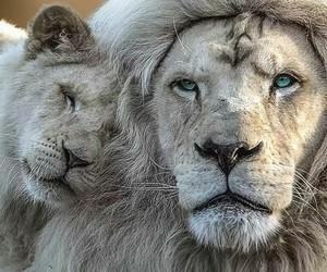 animal, lion, and beauty image