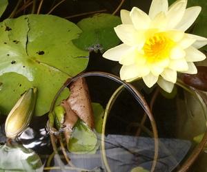 agua, amarillo, and nenufar image