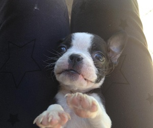 boston terrier and puppy image