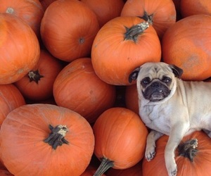 pumpkin, dog, and cute image
