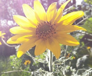 autum, sunflower, and october image