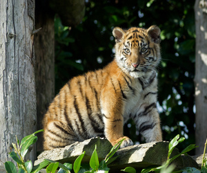 baby, tigre, and cute image