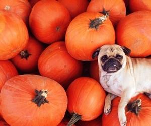 pumpkin, dog, and cute image