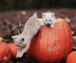 cat, fall, and pumpkin image