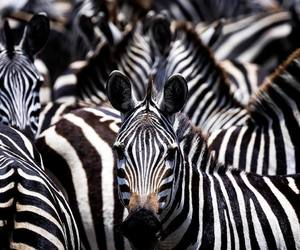 animals, b&w, and zebras image