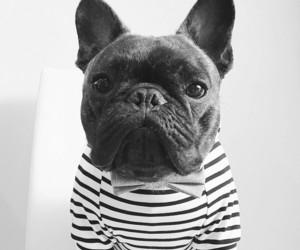 dogs, french bulldog, and frenchie image