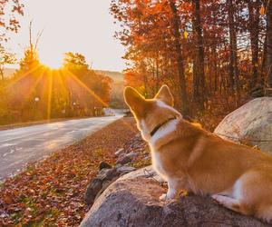 autumn, corgi, and dog image