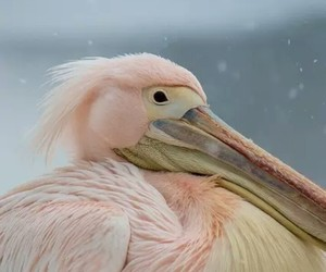 pink, bird, and pelican image