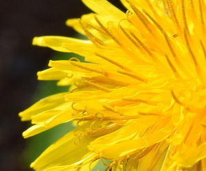 dandelion, flowers, and yellow image