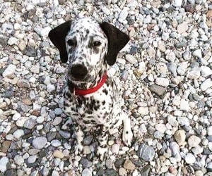 dog and dalmatian image