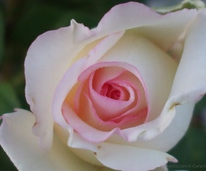 moonstone and rose image