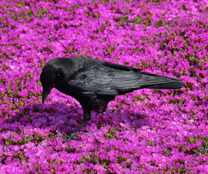 blackbird, crow, and flowers image