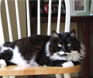 animals, sylvester, and 9 lives image