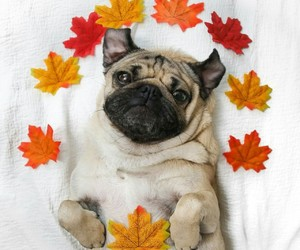 autumn, fall, and pug image