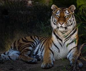 big cat, tiger, and tijger image