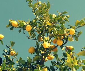 lemon, tree, and yellow image