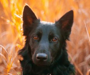autumn, black, and dog image