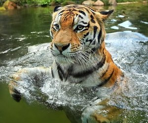 beauty, cat, and tiger image