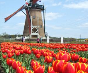 amazing, beautiful, and tulip image