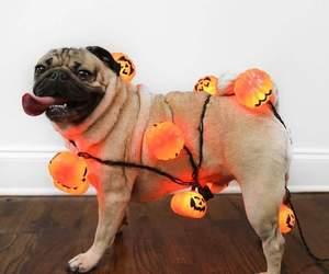 pug and Halloween image