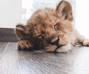 animals, baby lion, and cutie image