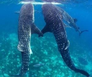 whale shark, ocean, and shark image
