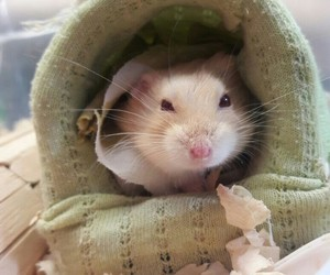 Animales, hamster, and hamsters image