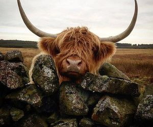 cattle, cow, and highland image