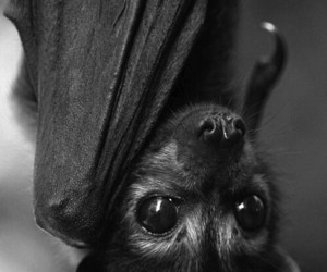bat, animal, and black image