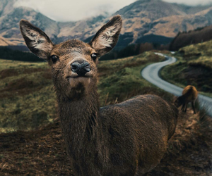 animal, beautiful, and deer image