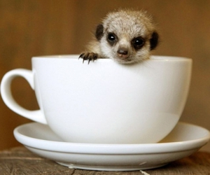animal, cup, and meerkat image
