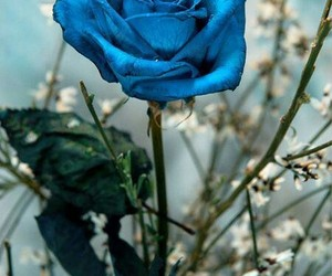 blue, favorite, and rose image