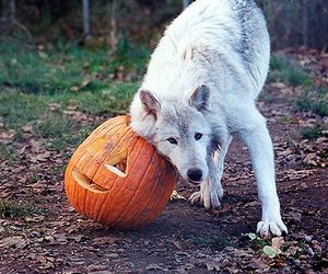 wolf and Halloween image