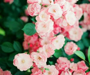 flowers, sakura, and pink image