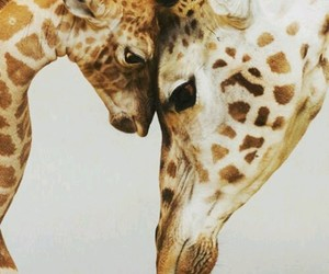 animals, giraffe, and nature image