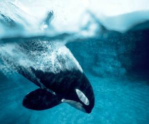animal, sea, and orca image