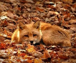 fox, autumn, and fall image