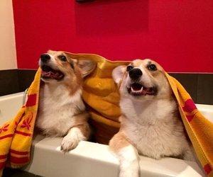 bath, corgi, and dog image