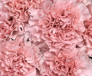 carnations, pink, and rose image