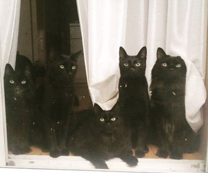 cat, animal, and black cat image