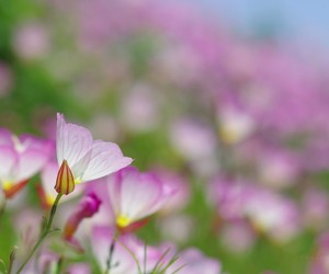 flowers, nature, and primrose image