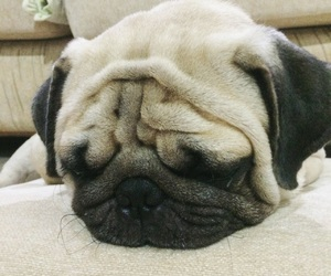 puggy and puglife image