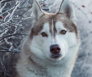animals, dogs, and husky image