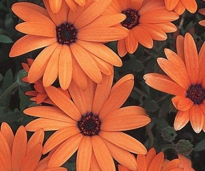 flowers, orange, and wallpaper image