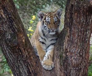 cub, tigre, and sumatran tiger image