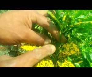video, how to care, and lemon croton image
