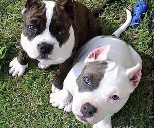 dog, lovely, and pit image