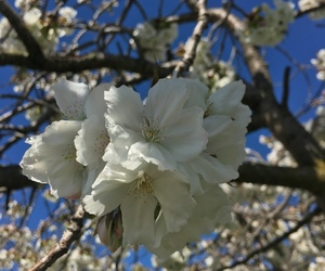 beautiful, nz, and blossom image
